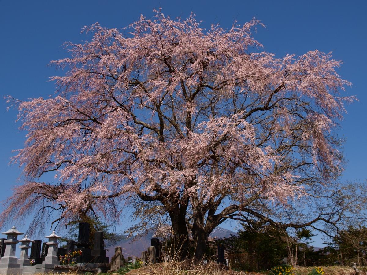 信濃境の桜達(静かな県境に凛と佇む)長野県諏訪郡富士見町