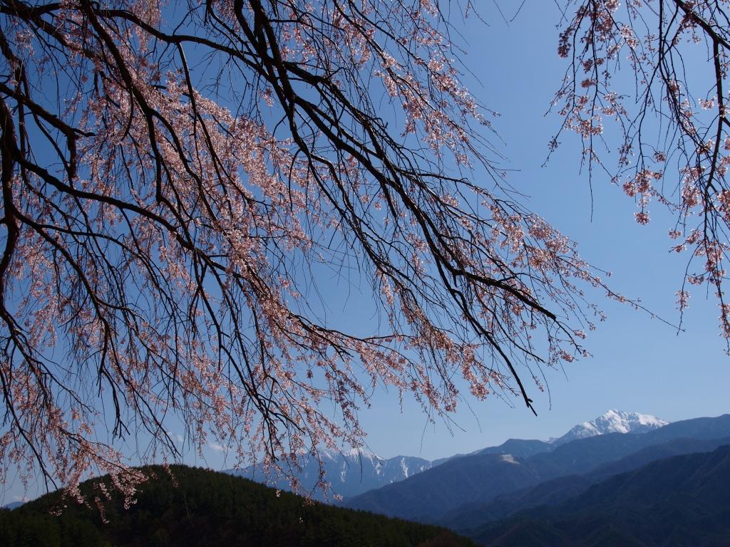 田端の枝垂桜越しに南アルプス
