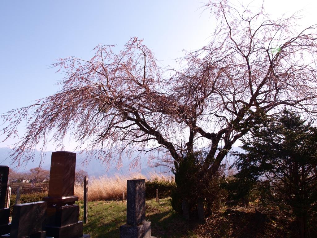 葛窪地先の枝垂桜1