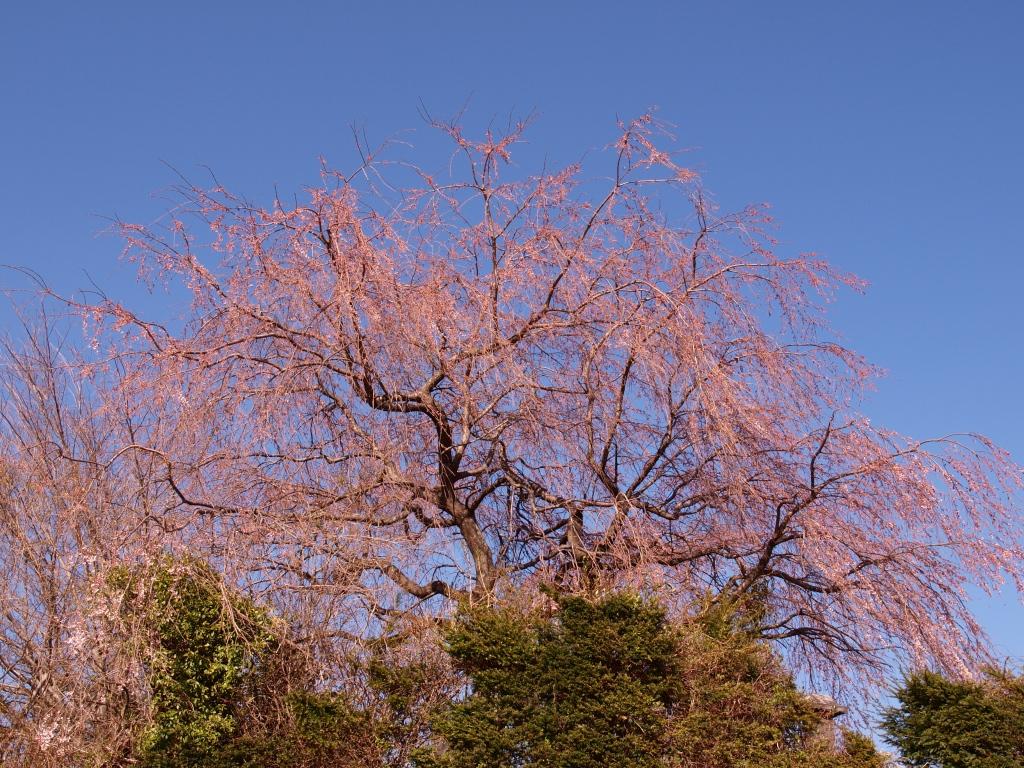 葛窪地先の枝垂桜2