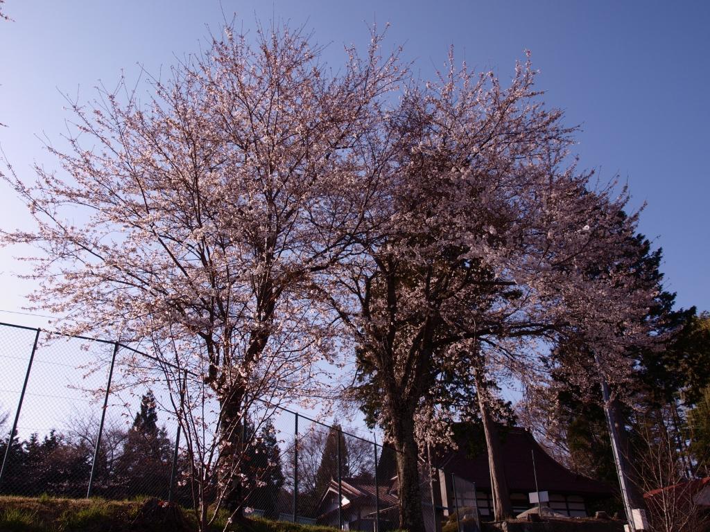 先達城跡の桜