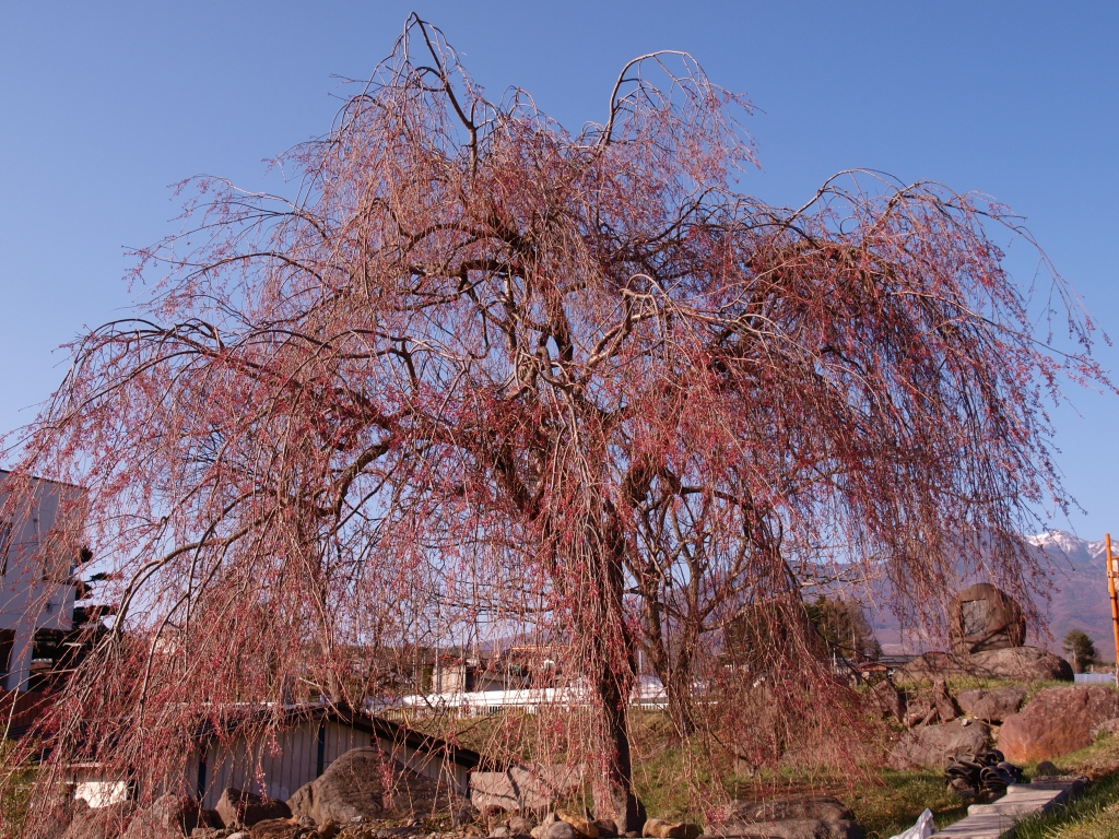 先達の枝垂桜