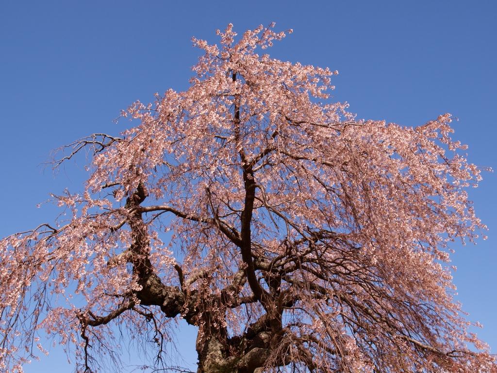 葛窪の枝垂桜3