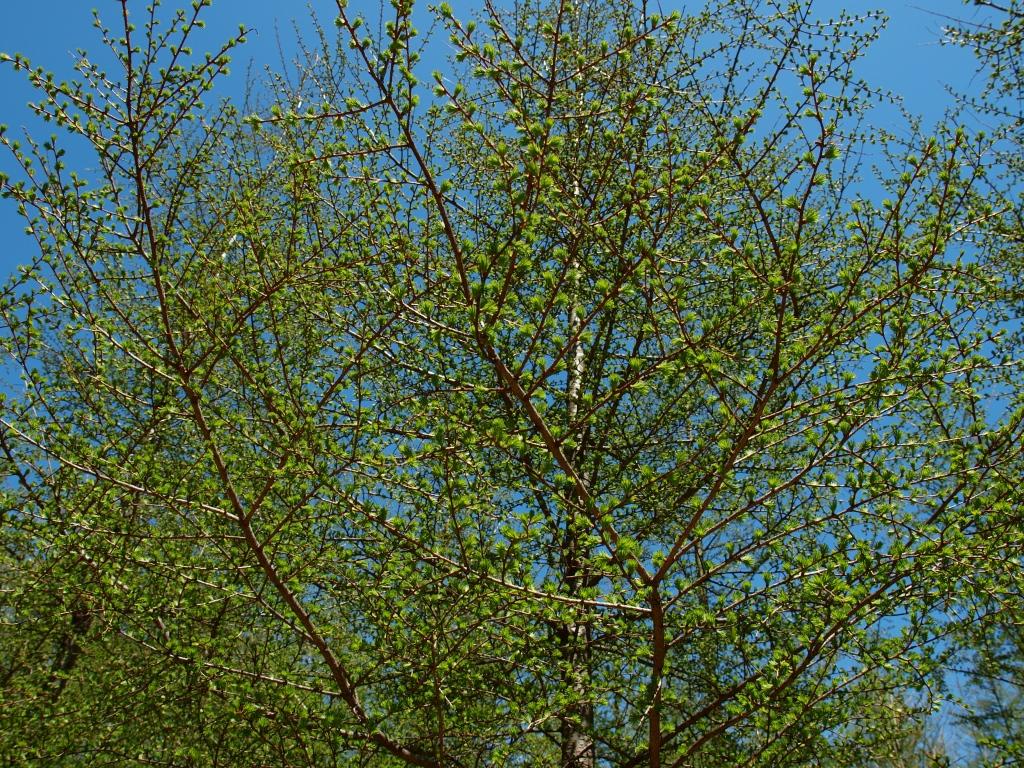 落葉松の若木