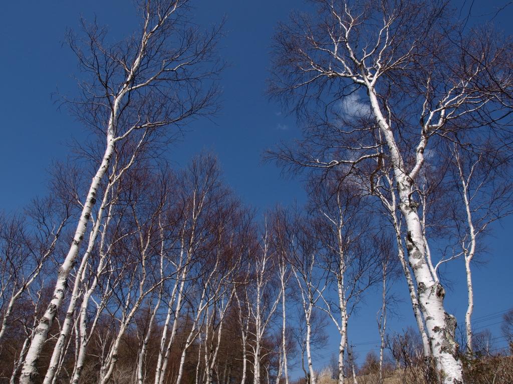 新芽を待つ白樺林