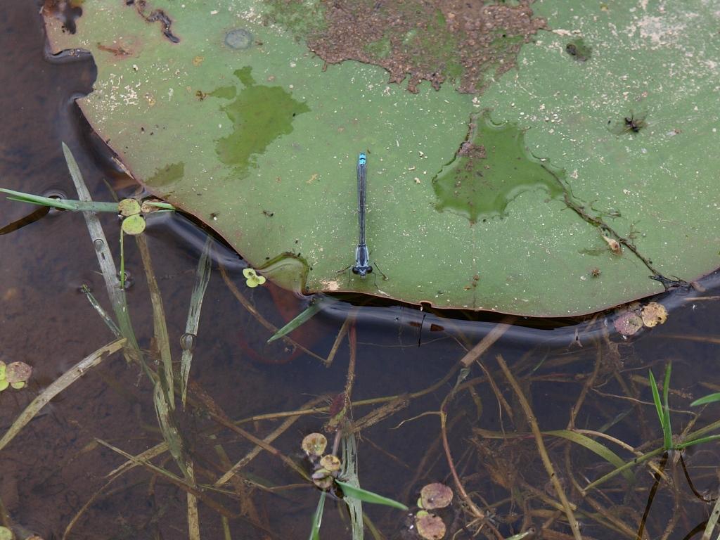 井戸尻遺跡のクロイトトンボ