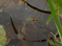 井戸尻遺跡の蛙