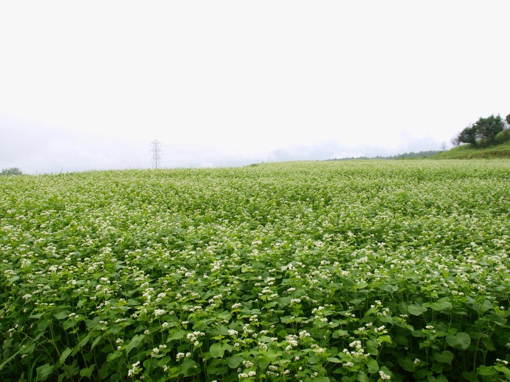 霧に沈む蕎麦の花1