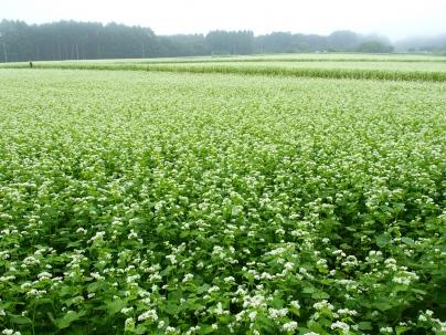 霧に沈む蕎麦の花2