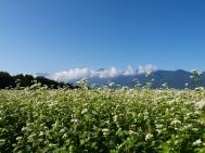 快晴の蕎麦畑2