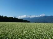 快晴の蕎麦畑3