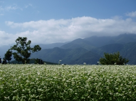 蕎麦畑と南アルプス遠望