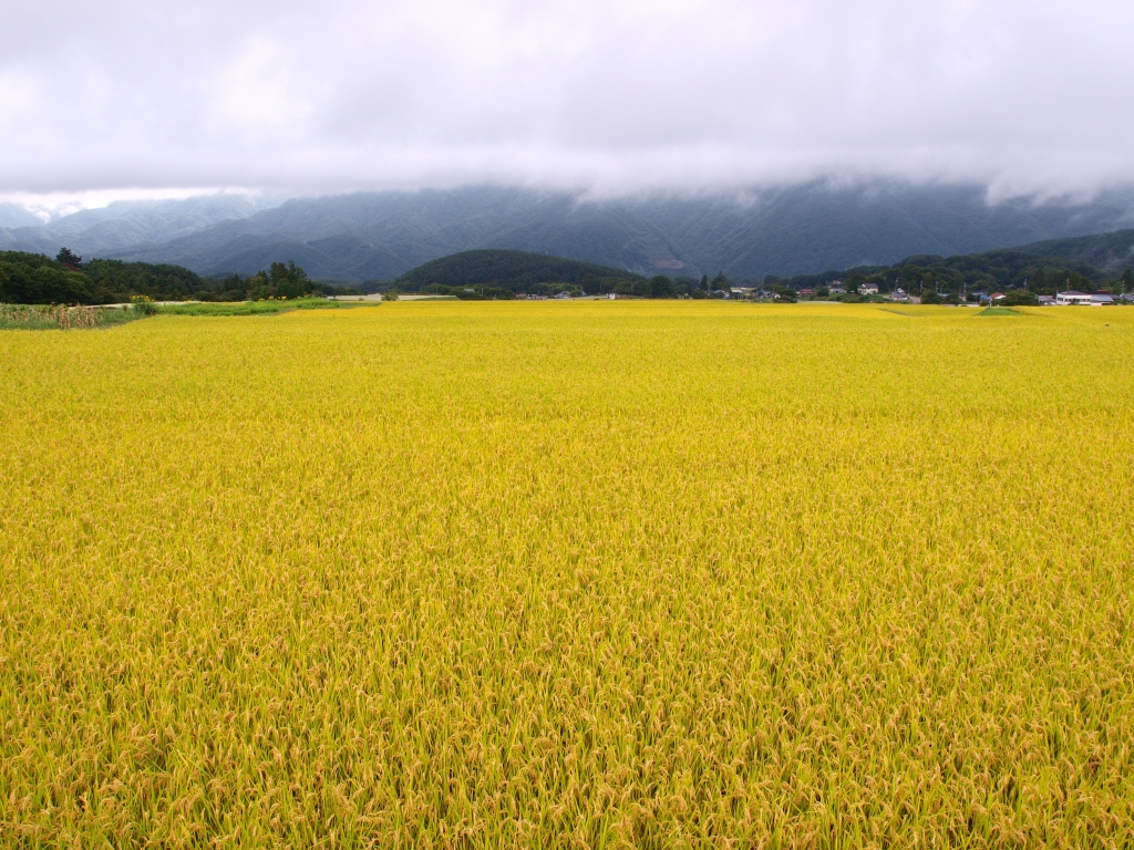 台風の合間に稲穂の群れを1