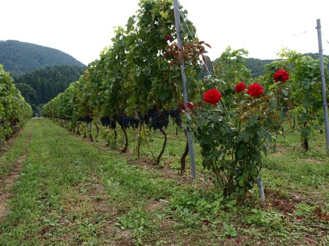 薔薇と垣根仕立てのブドウ畑