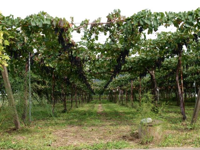棚仕立てのブドウ畑
