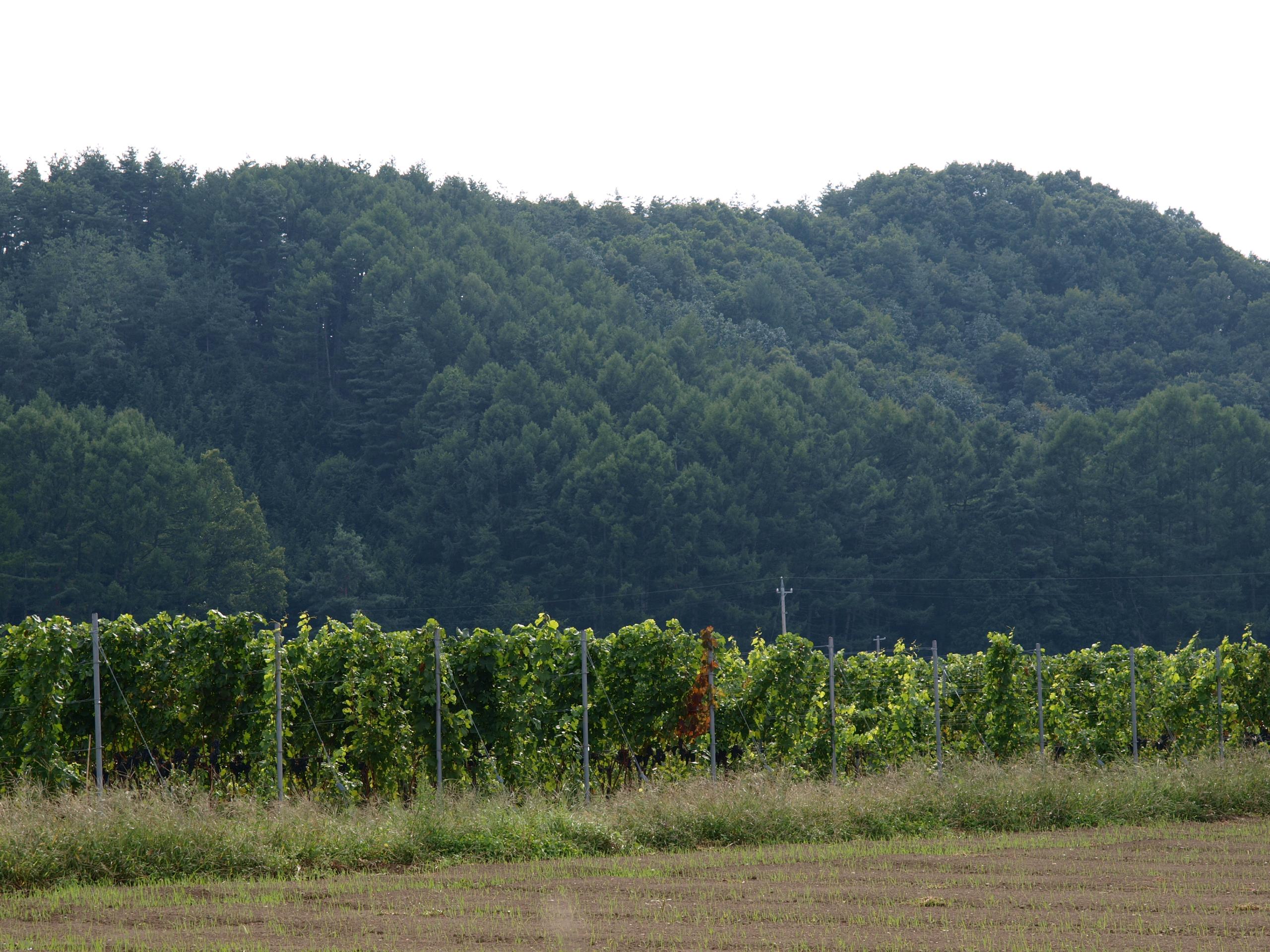 ワイン用ブドウ | 八ヶ岳の南麓 ...