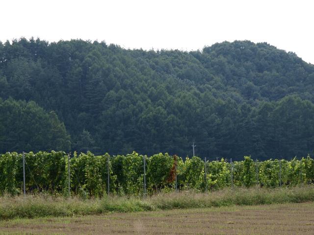 垣根仕立てのブドウ畑