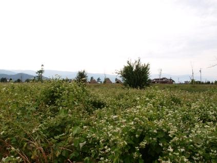 蕎麦畑と平出遺跡遠望