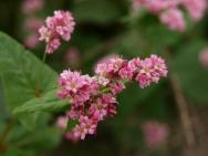 赤蕎麦の花2