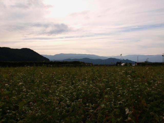 夕暮れの蕎麦畑とブドウ棚