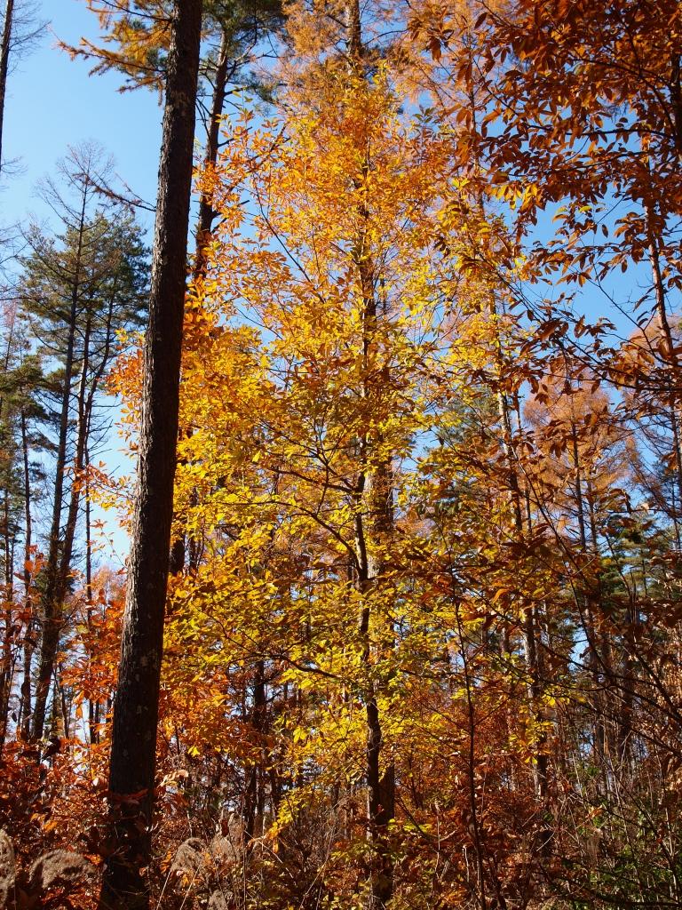 落葉松林の黄葉たち6