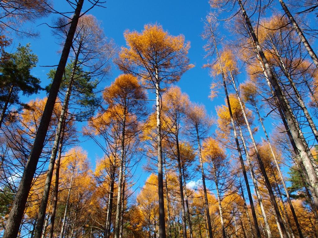 落葉松林の黄葉たち7