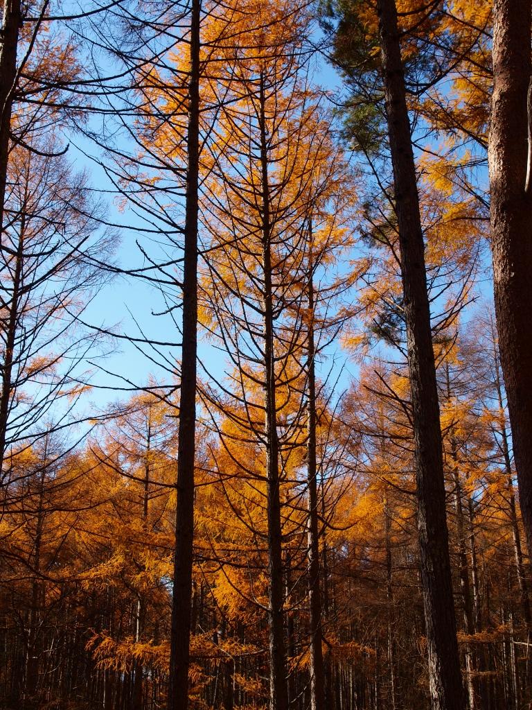 落葉松林の黄葉たち8