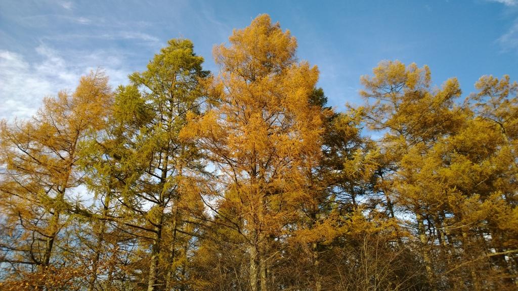 秋色の落葉松達1