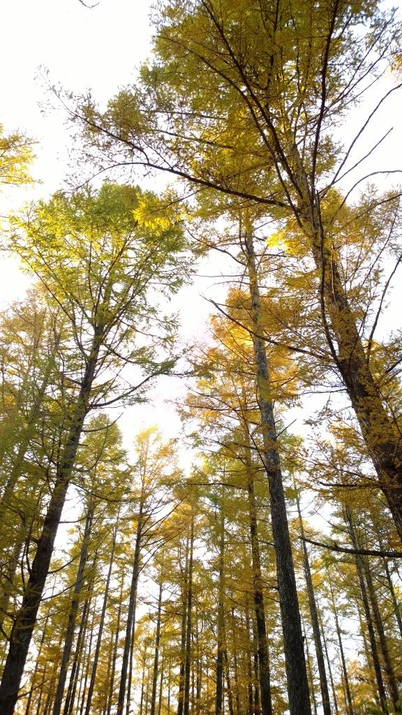 秋色の落葉松達3