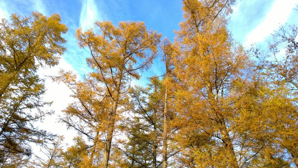秋色の落葉松達4
