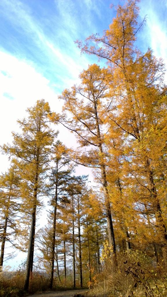 秋色の落葉松達5