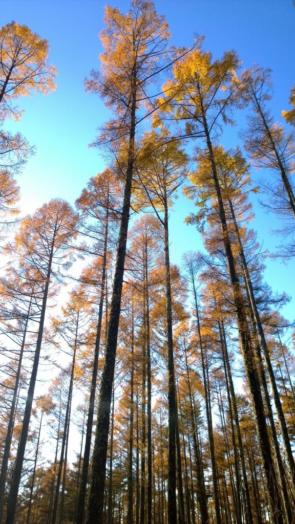 西日を浴びる落葉松の木々
