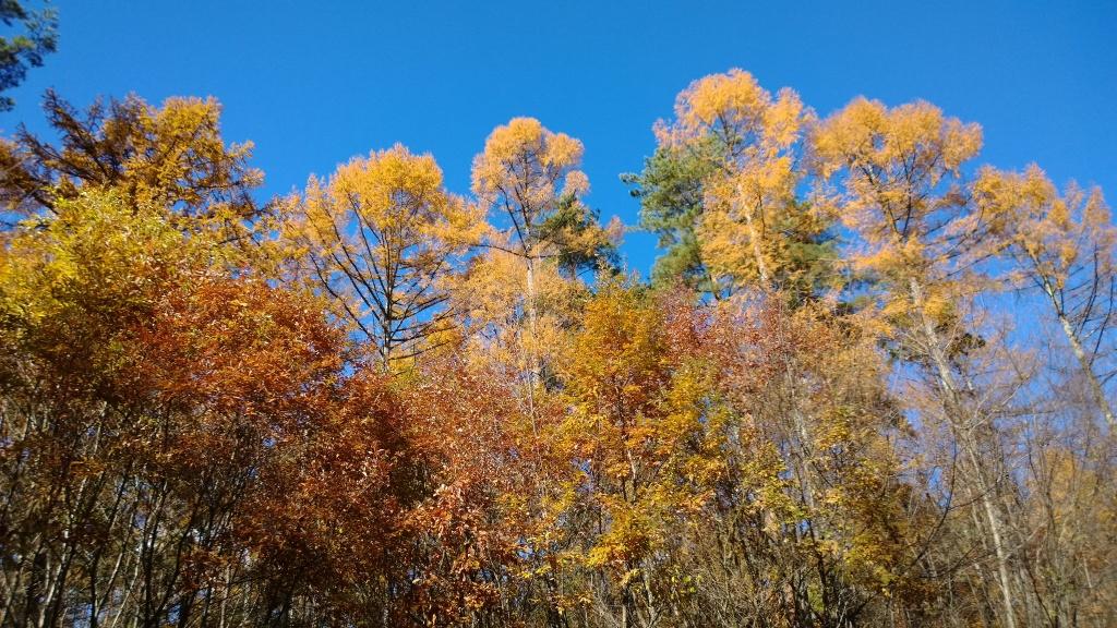 落葉松林の黄葉たち1