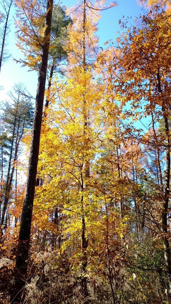 落葉松林の黄葉たち2