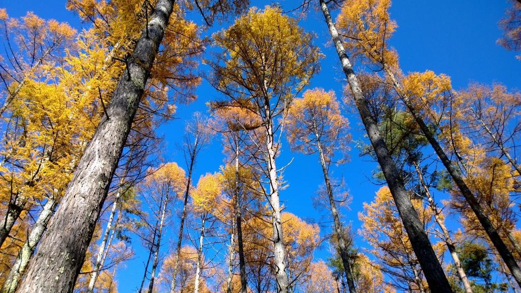 落葉松林の黄葉たち3