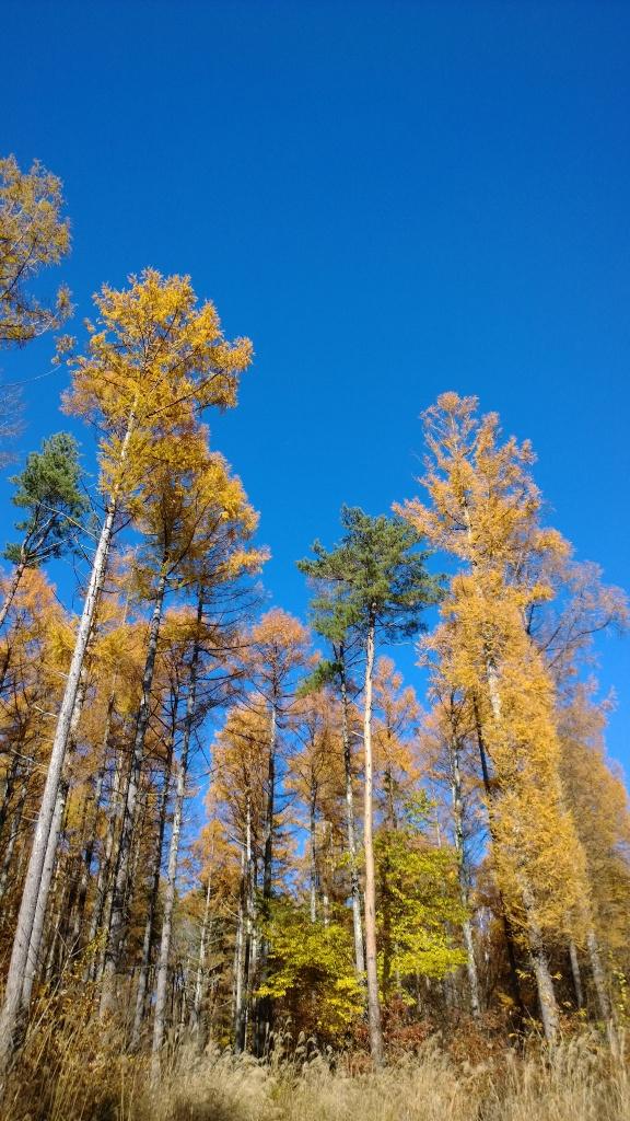 落葉松林の黄葉たち4