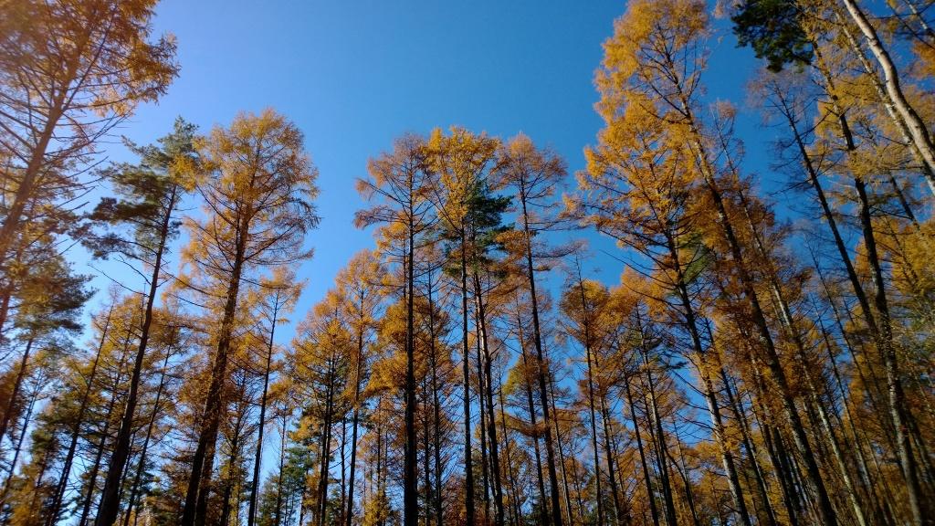 落葉松林の黄葉たち5