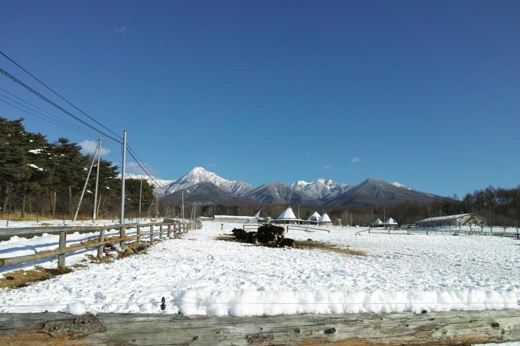 八ヶ岳実践大学校の牛たちと雪の八ヶ岳