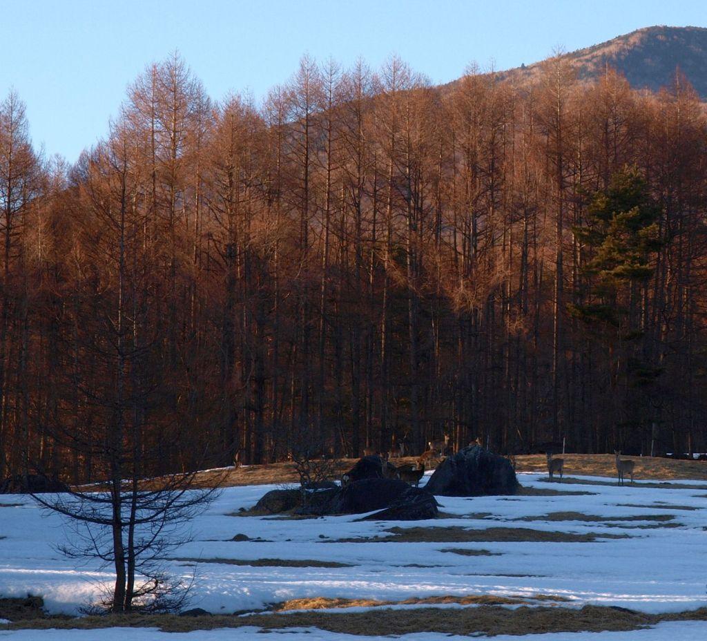 八ヶ岳牧場の鹿たち