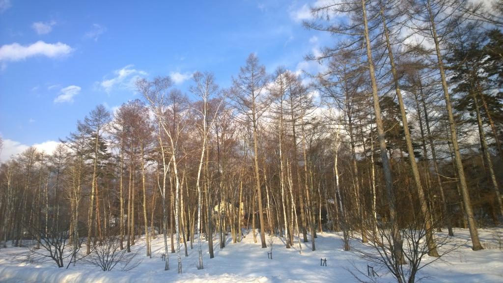 夕日を浴び落葉松林