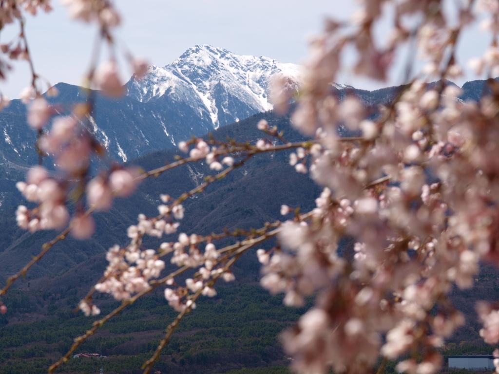 城山公園の桜と甲斐駒アップ