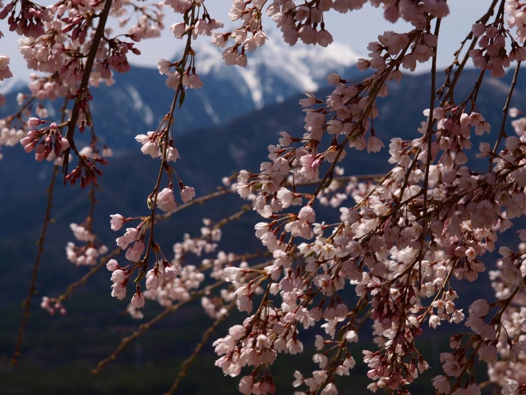 城山公園の桜と甲斐駒アップ3