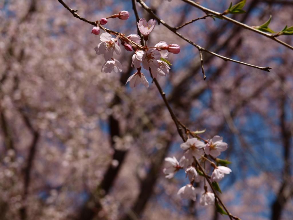 城山公園の桜アップ2