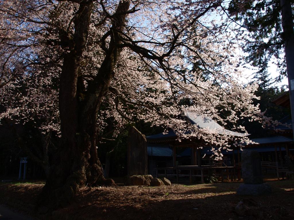 熱那神社と桜の老木