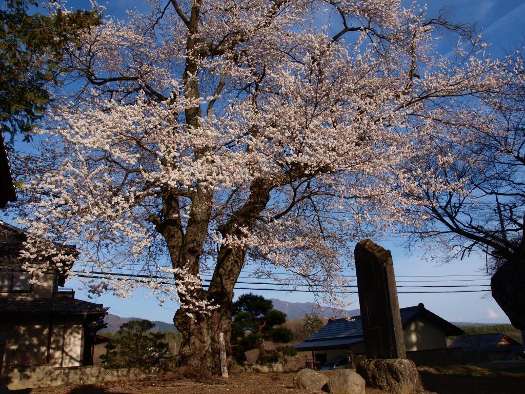 熱那神社の桜4