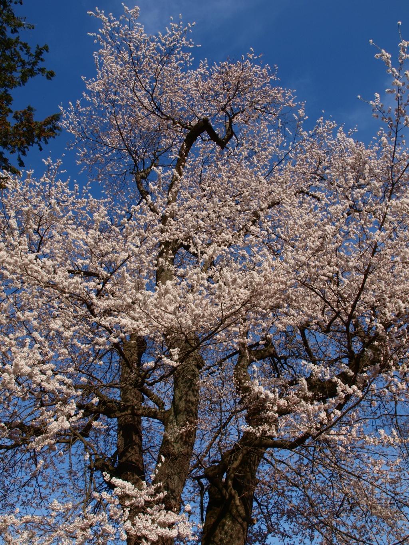 亜綱神社の桜3