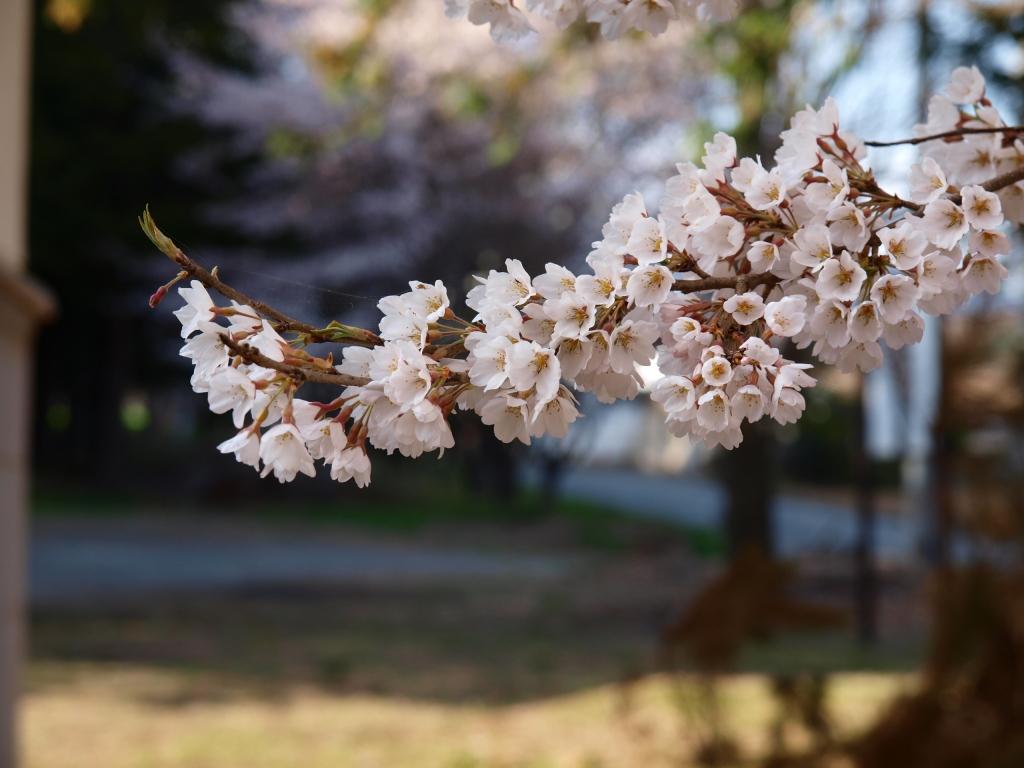 熱那神社の桜5