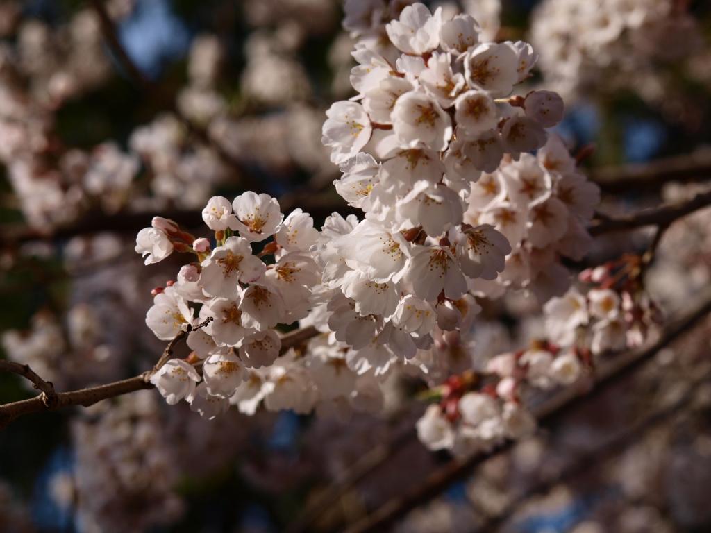 熱那神社の桜7