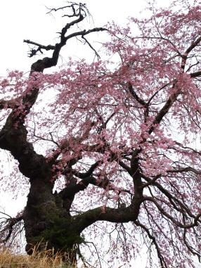 葛窪の枝垂れ桜20140420_2