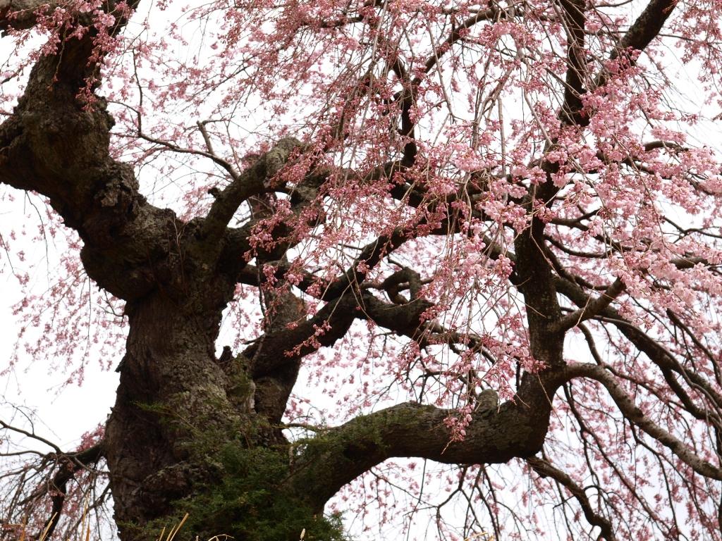 葛窪の枝垂れ桜140420_1